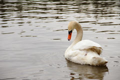 Cisne branca com pescoço curvado Fotografia de Stock