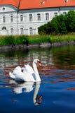 Cisne branca com reflexão Imagens de Stock