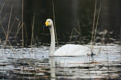 Cisne branca de Swooper em um lago finlandês imagens de stock royalty free