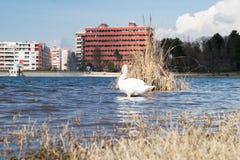Cisne branca de tirana foto de stock