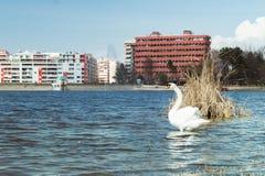 Cisne branca de tirana foto de stock royalty free