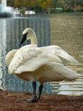 Cisne branca elegante com um bico preto Fotografia de Stock