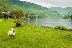 Cisne branca em um fundo de sceneryGermany bonito Fotografia de Stock Royalty Free