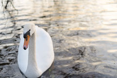 Cisne branca em um lago Imagens de Stock Royalty Free