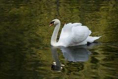 Cisne branca em um lago da floresta Imagem de Stock
