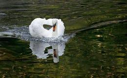 Cisne branca em um lago da floresta Foto de Stock