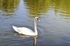 Cisne branca em uma água Foto de Stock Royalty Free
