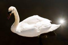 Cisne branca em uma lagoa imagem de stock