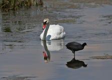 A cisne branca flutua na água imagem de stock royalty free