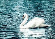 Cisne branca graciosa Fotografia de Stock Royalty Free