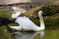 Cisne branca grande Imagem de Stock