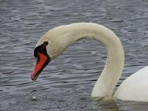 Cisne branca grande molhada imagens de stock royalty free