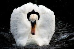 Cisne branca irritada Fotos de Stock