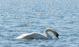 Cisne branca na água Fotos de Stock Royalty Free