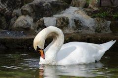 A cisne branca na associação Imagens de Stock