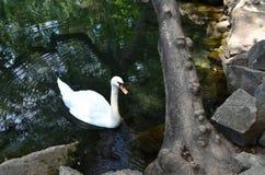 Cisne branca na lagoa perto da costa rochosa Círculos no wate foto de stock royalty free