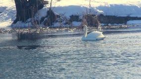 Cisne branca na luz solar O pássaro nada na água fria A neve cobriu o riverbank video estoque