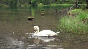 A cisne branca nada no lago da montanha do verde de Fernsteinsee no tempo chuvoso video estoque