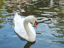 Cisne branca no lago Fotografia de Stock Royalty Free
