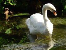 Cisne branca no lago Imagens de Stock Royalty Free
