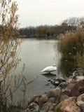 Cisne branca no lago em Kesthely imagem de stock royalty free