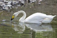 Cisne branca no lago em um fundo natural fotos de stock royalty free