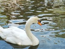 Cisne branca no lago nevoento Fotografia de Stock Royalty Free