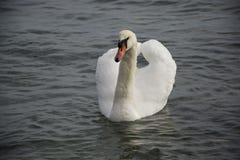 Cisne branca no lago nevoento no alvorecer Luzes da manhã fotografia de stock royalty free