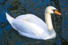 Cisne branca no lago nevoento no alvorecer Luzes da manhã fundo romântico Cisne bonita cygnus Romance da cisne branca com imagem de stock royalty free