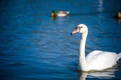 Cisne branca no lago nevoento no alvorecer Luzes da manhã fundo romântico Cisne bonita cygnus Romance da cisne branca com fotografia de stock