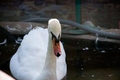 Cisne branca no lago nevoento no alvorecer Luzes da manhã fundo romântico Cisne bonita cygnus Romance do branco imagens de stock royalty free