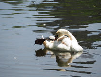 Cisne branca no lago nevoento no alvorecer Foto de Stock