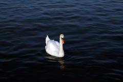 Cisne branca no lago nevoento no alvorecer Luzes da manhã fundo romântico fotografia de stock