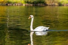 Cisne branca no rio Fotografia de Stock