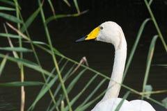 Cisne branca pequena Fotos de Stock