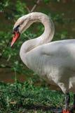 Cisne branca perto da lagoa rural cercada por ?rvores e pela grama verdes Close up da cisne foto de stock