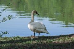 Cisne branca perto da lagoa rural cercada por ?rvores e pela grama verdes Close up da cisne imagem de stock