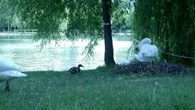 Cisne branca perto de um lago video estoque