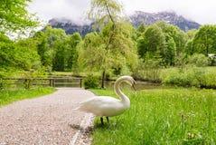 Cisne branca perto de um lago em Baviera, Alemanha Imagens de Stock