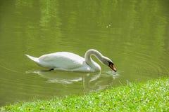 Cisne branca perto do banco da diagonal da grama verde Imagem de Stock