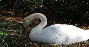 Cisne branca que encontra-se no ninho video estoque