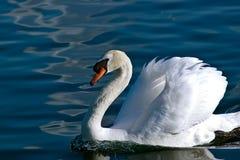 Cisne branca que nada preguiçosamente perto na água calma imagens de stock royalty free