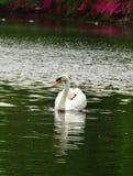 Cisne branca régia Foto de Stock Royalty Free