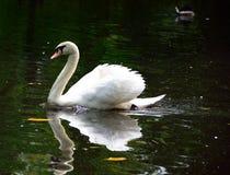 Cisne branca régia Fotografia de Stock Royalty Free