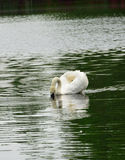 Cisne branca régia Foto de Stock