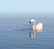 Cisne branca só Foto de Stock