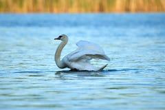 A cisne branca selvagem senta-se em um lago com ?gua azul imagem de stock royalty free