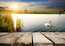 Cisne cerca del puente fotos de archivo
