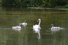 Cisne cercada por sinetes foto de stock royalty free