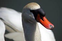 Cisne cercano para arriba en una charca Imágenes de archivo libres de regalías